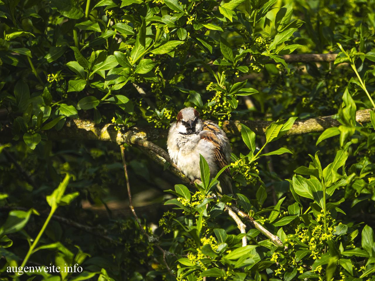 Sperling - Jungvogel