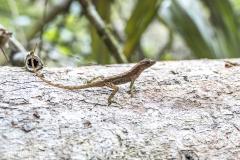 Eidechse- Costa_Rica