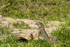 Leguan - Costa_Rica