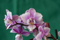Zucht-Orchideen