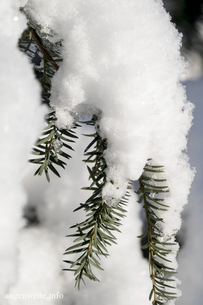 Schneefichte